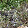 Baby Blue-Eyes (Nemophila menziesii)<br /> Lakeview Mountains, 18 Apr 2010