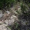 White Pincushion (Chaenactis artemisiifolia)<br /> Lakeview Mountains, 18 Apr 2010