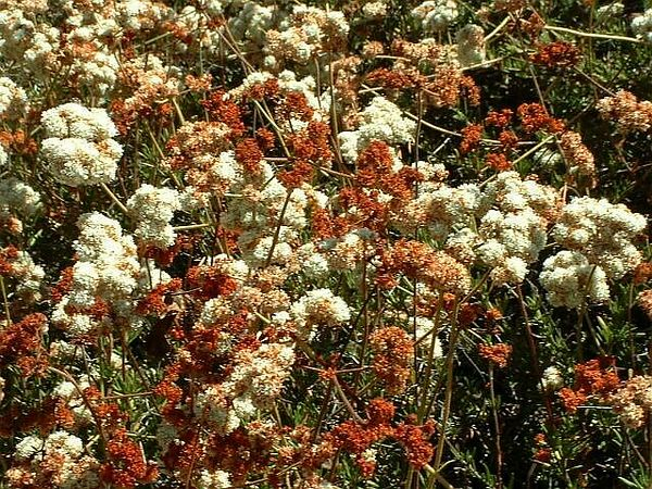 Buckwheat (Eriogonum fasciculatum). Lakeview Mountains, 24 Aug 2003
