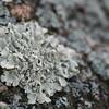 Crustose lichen, Lakeview Mountains, 23 Dec 2008