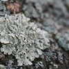 Crustose lichen, Lakeview Mountains, 23 Dec 2008