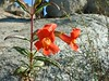 Bush Monkeyflower (Mimulus aurantiacus). Lakeview Mountains, 8 Feb 2004.