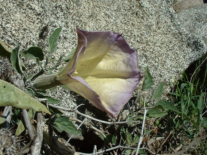 Angel's Trumpet, Jimson Weed, etc. (Datura wrightii, formerly Datura metelloides). Lakeview Mountains, 28 Feb 2004.