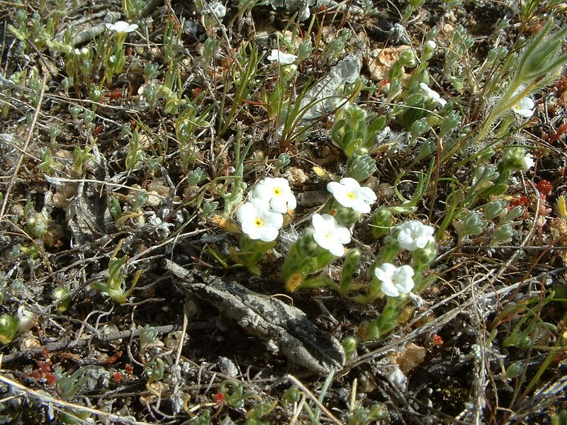 Tejon Cryptantha (Cryptantha microstachys) Lakeview Mountains, 16 Feb 2004.