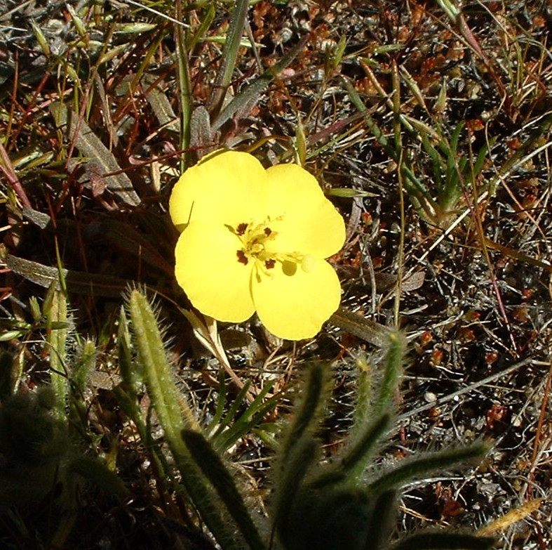 Sun Cups (Camissonia bistorta). Lakeview Mountains, 8 Feb 2004.
