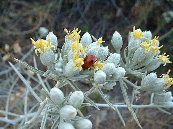 Cotton-Thorn (Tetradymia comosa). Lakeview Mountains, 13 Jul 2003
