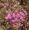 Canchalagua (Centaurium venustum), Lakeview Mountains, 4 July 2005