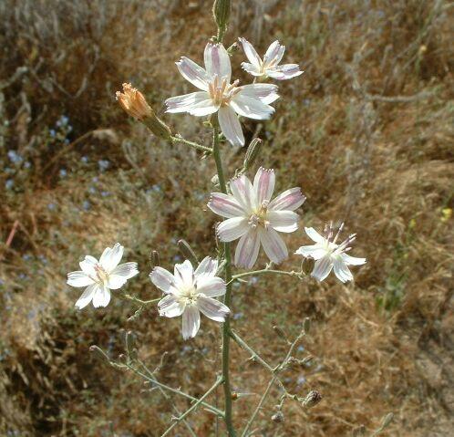 Twiggy Wreath Plant (Stephanomeria virgata). Lakeview Mountains, 08 Jun 2003