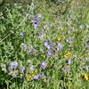 Wild Heliotrope (<i>Phacelia distans</i>), Lakeview Mountains, 14 Mar 2009