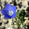 Baby Blue-Eyes (<i>Nemophila menziesii</i>), Lakeview Mountains, 14 Mar 2009