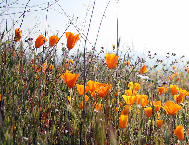 California poppies, (<i>Eschscholzia californica</i>), Lakeview Mountains, 14 Mar 2009