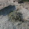 Silver Lotus (<i>Lotus argophyllus</i>), Lakeview Mountains, 14 Mar 2009