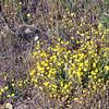 Southern goldfields (<i>Lasthenia coronaria</i>), Lakeview Mountains, 14 Mar 2009