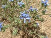 Sapphire Wool Star (Eriastrum sapphirinum) Lakeview Mountains, 23 May 2004