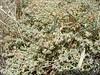 Rattlesnake Weed (Chamaesyce albomarginata) Lakeview Mountains, 23 May 2004