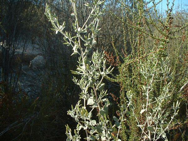 California Brickellbush (Brickellia californica). Lakeview Mountains, 21 Sep 2003