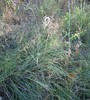 Deer grass (Muhlenbergia rigens), Lakeview Mountains, 5 Sep 2005