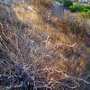 Longstem Buckwheat (Eriogonum elongatum), Lakeview Mountains, 14 Sep 2008