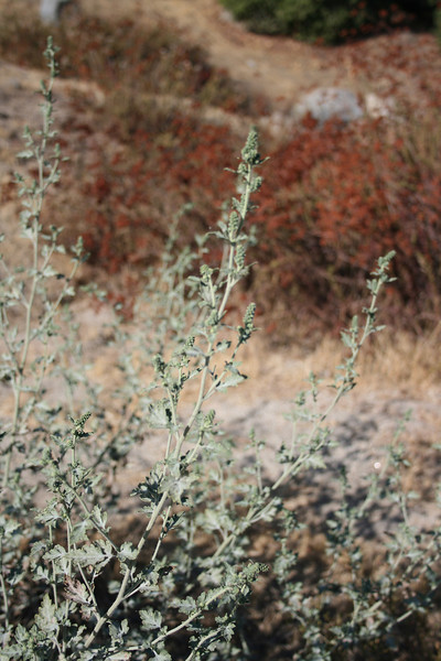Annual Bur Ragweed (Ambrosia acanthicarpa), roadside, Lakeview Mountains, 1 Sep 2008