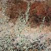 Annual Bur Ragweed (Ambrosia acanthicarpa), roadside, Lakeview Mountains, 1 Sep 2008