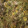 Broom Snakeweed (Gutierrezia sarothrae), Lakeview Mountains, 26 Oct 2008