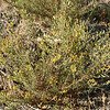 Broom Snakeweed (Gutierrezia sarothrae), Lakeview Mountains, 26 Oct 2008