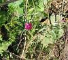 Winecup Clarkia (Clarkia purpurea), Santa Rosa Plateau, 21 Jun 2005
