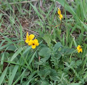 Johnny Jump-Ups (Viola cornuta), Santa Rosa Plateau Ecological Reserve, 16 Mar 2008