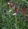 Popcorn flower (Plagiobothrys sp.), Santa Rosa Plateau Ecological Reserve, 16 Mar 2008