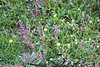Shining peppergrass (Lepidium nitidum), Santa Rosa Plateau Ecological Reserve, 16 Mar 2008