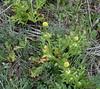 Sharp-Tooth Sanicle (Sanicula arguta), Santa Rosa Plateau Ecological Reserve, 16 Mar 2008