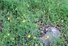 Western buttercup (Ranunculus occidentalis), Santa Rosa Plateau Ecological Reserve, 16 Mar 2008