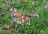 Shooting stars (Dodecatheon clevelandii), Santa Rosa Plateau Ecological Reserve, 16 Mar 2008