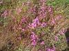 Canchalagua (Centaurium venustum), Santa Rosa Plateau, 21 Jun 2005