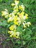 Cowslips (Primula veris), near Eastbourne