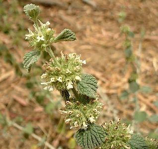 Wildflowers of La Jolla, 29 Jun 2003