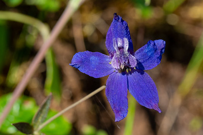 Larkspur - Los Altos, CA, USA