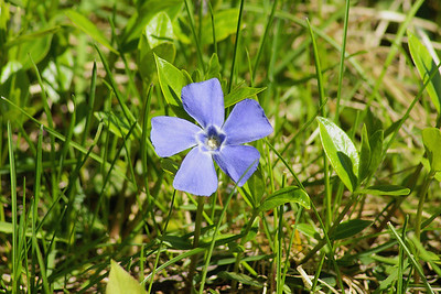 Common Periwinkle / Pervenche Vinca minor Family Apocynaceae Britannia Conservation Area, Ottawa, Ontario 11 May 2011