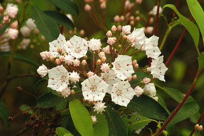 Mountain Laurel Kalmia latifolia Family Ericaceae Pit Road, Delaware State Forest, Pennsylvania 1 June 2012