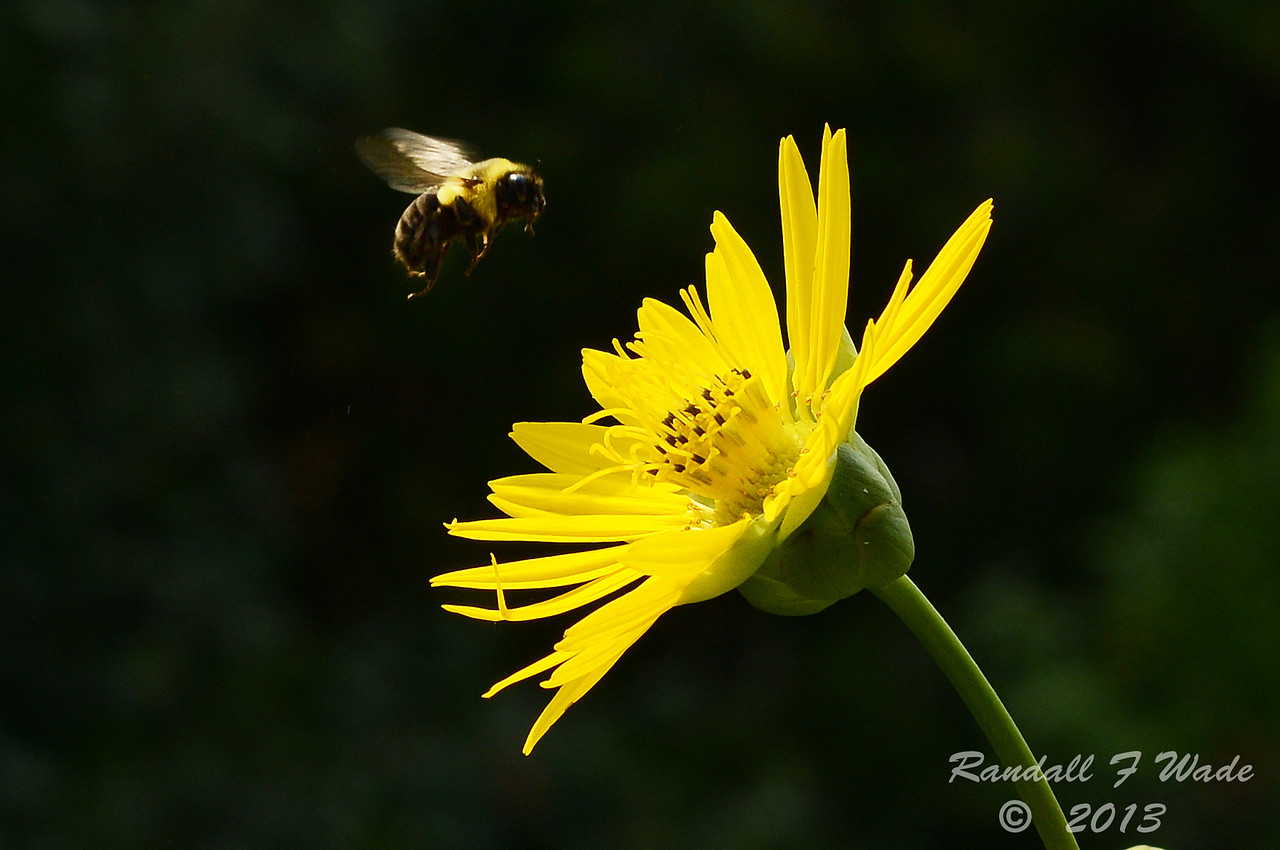 Bumble Bee And Prairie Dock
