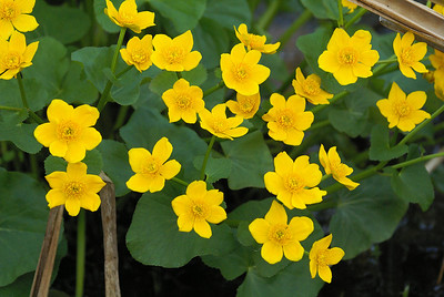 Marsh Marigold / Populage des marais Caltha palustris Family Ranunculaceae Richmond Fen, Munster, Ontario 9 May 2011