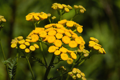 Common Tansy / Tanaisie vulgaire Tanacetum vulgare Family Asteraceae Sachuest Point National Wildlife Refuge, Middletown, Rhode Island 31 July 2011