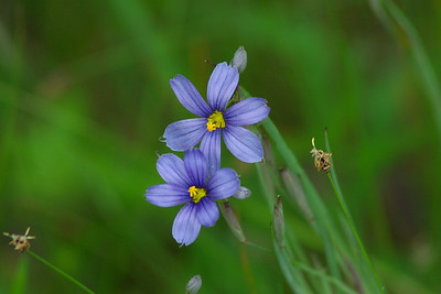 Stout Blue-eyed Grass / Bermudienne à feuilles étroites Sisyrinchium angustifolium Family Iridaceae Great Swamp Wildlife Management Area, West Kingston, Rhode Island 29 May 2011