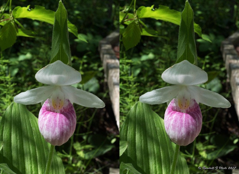 Stereo Showy Lady's-slipper
