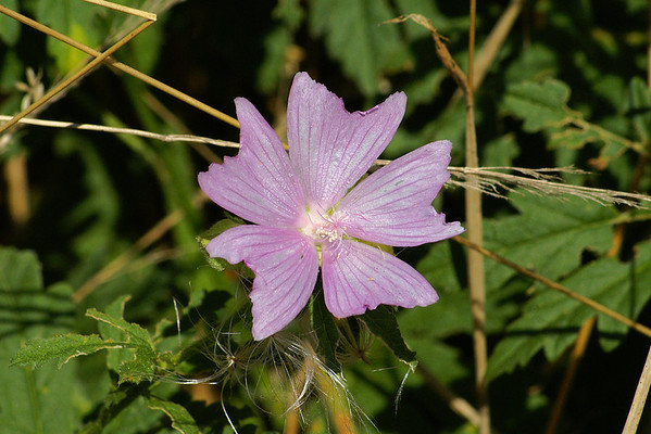 Musk Mallow / Mauve musqué Malva moschata Family Malvaceae Sachuest Point National Wildlife Refuge, Middletown, Rhode Island 31 July 2011