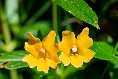 Sticky Monkey Flower  - Los Altos, CA, USA