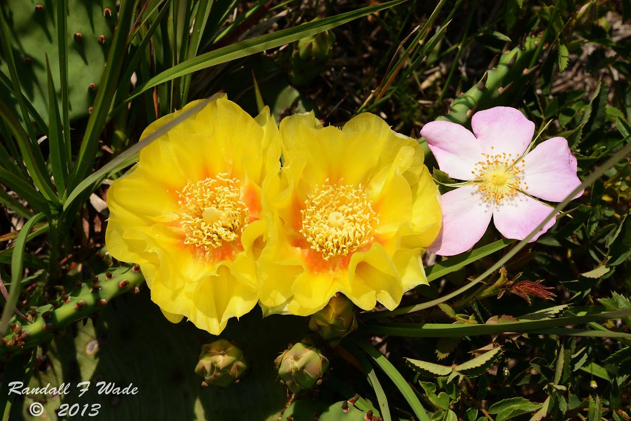 Prickley Pear Cactus And Pasture Rose