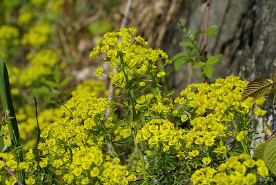 Cypress Spurge / Euphorbe cypéracé Euphorbia cyparissias Family Euphorbiaceae Lake Opinicon, Perth Road, Ontario 12 May 2011