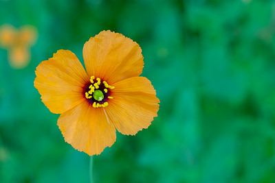 Wind poppy - Los Altos, CA, USA