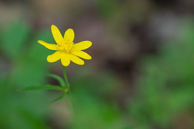 California Buttercup - Los Altos, CA, USA